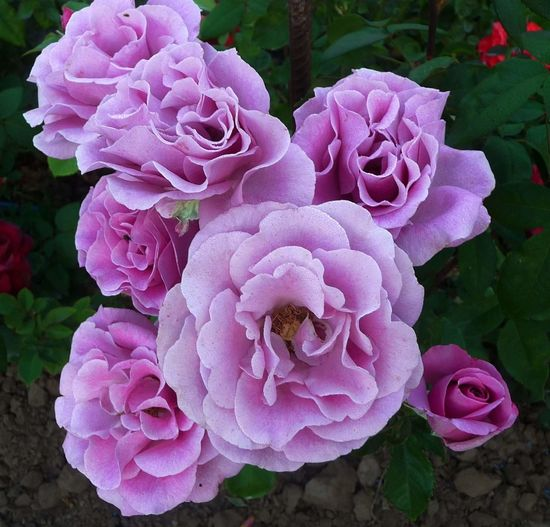 Flower Petal Freshness Nature Beauty In Nature Close-up Flower Head Pink Color Outdoors Growth Fragility No People Day Roses Rose - Flower Rose🌹 Roses🌹 Rose♥ Rosé Rose Garden Roses Flowers  Rose Tree