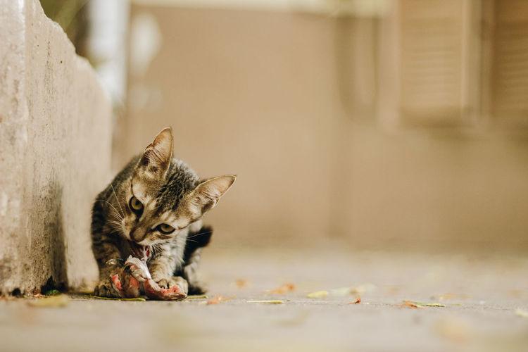 Portrait of a cat eating flesh
