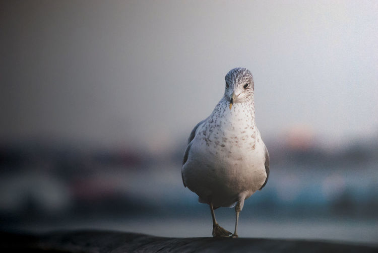 Animal Themes Animal Bird Vertebrate One Animal Animal Wildlife Animals In The Wild Focus On Foreground Perching No People Day Nature Full Length Close-up Outdoors Seagull Copy Space Dove - Bird Front View Looking Away