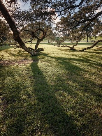Oak Tree Oak Plant Sunlight Nature Shadow Tree Day Beauty In Nature Scenics - Nature Tranquil Scene Outdoors Grass Full Frame Land Green Color High Angle View No People Tranquility Growth Field Branch