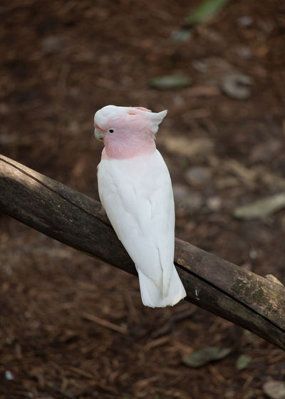 Australia Animal Themes Animal Wildlife Animals In The Wild Bird Close-up Cockatoo Day Nature No People One Animal Outdoors Perching White Color