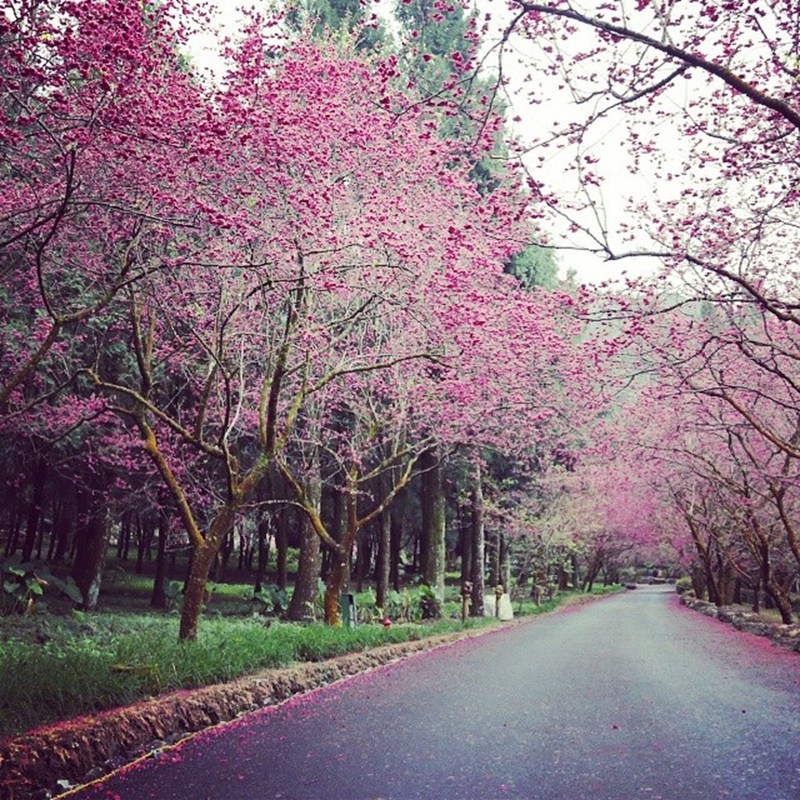 tree, flower, the way forward, growth, beauty in nature, branch, nature, pink color, park - man made space, tranquility, tranquil scene, treelined, road, freshness, diminishing perspective, scenics, season, blossom, day, footpath
