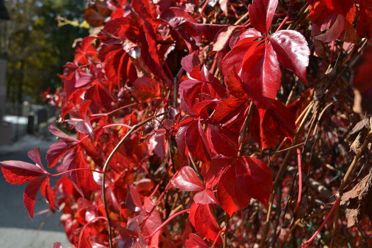 Red Close-up Plant Part Leaf Plant Beauty In Nature Day Nature Autumn Change No People Growth Focus On Foreground Outdoors Tree Selective Focus Flower Branch Flowering Plant Freshness Leaves Maple Leaf Natural Condition Autumn colors Autumn Leaves