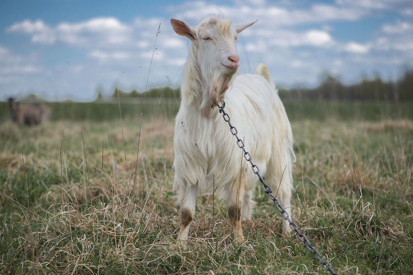 Agriculture Animal Themes Background Beauty In Nature Cattle Breeding Cow Day Domestic Animals Farm Farm Life Field Goat Goats Grass Landscape Latvia Livestock Mammal Nature No People One Animal Outdoors Sky Standing