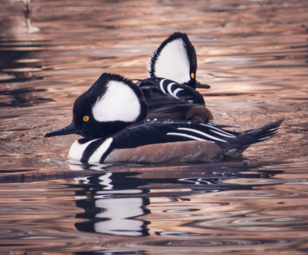 Animal Themes Animal Wildlife Animals In The Wild Bird Hooded Merganser My Point Of View My Unique Style Nature Nature Nature Photography Riverside Riverside Photography Wildlife Wildlife & Nature Wildlife Photography