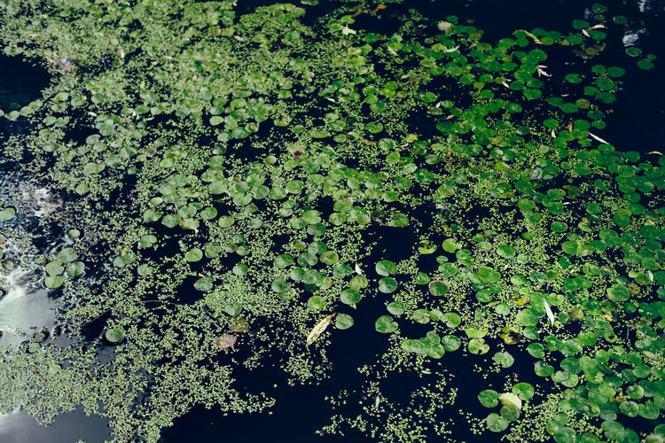 Sea Plants Water Reflections Beauty In Nature Dark Background Dark Photography Day Floating In Water Floating On Water Freshness Green Growth Leaf Liliac Nature No People Outdoors Plant Tropical Plants