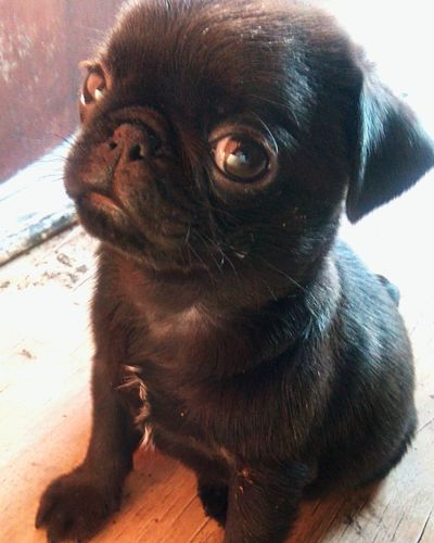 Animal Themes Animal Mammal One Animal Pets Domestic Domestic Animals No People Vertebrate Lap Dog Small Canine Dog Pug Day Close-up Young Animal Portrait Cute Animal Body Part