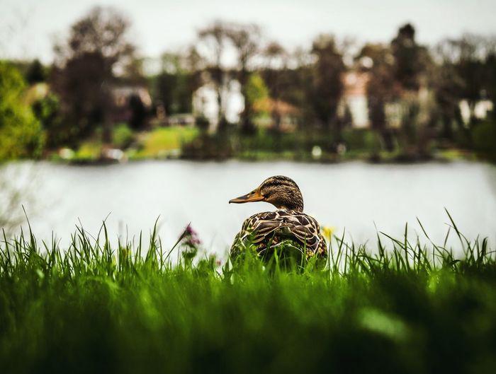 Mallard duck on grassy field against lake