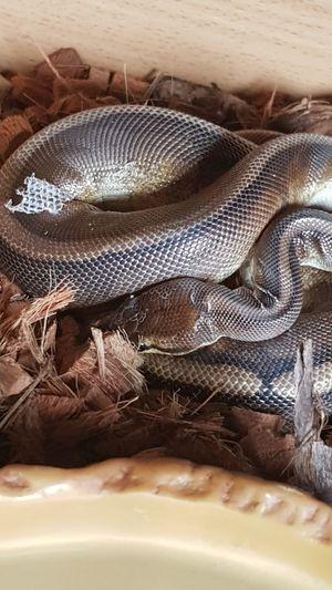 Shedding Skin SheddingTheOldToAllowRoomForNewGrowth Snakes Are Beautiful Snakesofeyeem Snake Skin Snake Scales Snake Animal Skin