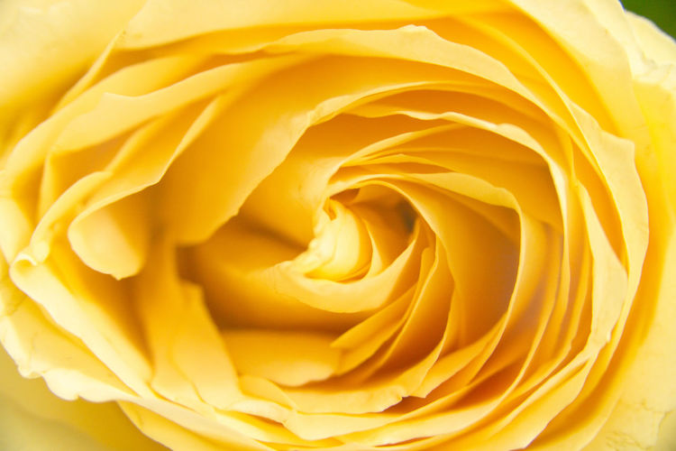 Flower Head Flower Backgrounds Yellow Full Frame Textured  Pattern Close-up Single Rose Rose - Flower Single Flower