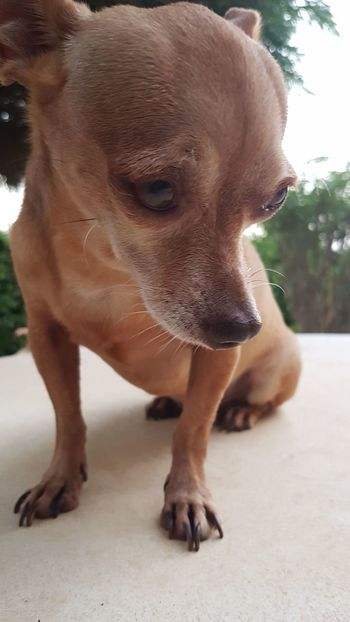 Mr. Sad face One Animal Outdoors Nature Close-up Animal Themes No People Aruba Chichuahua Pet Photography  Pets Corner Photooftheday Samsung Galaxy S7 Mobilephoto Mobilephotography Pet Portraits