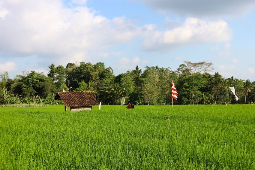 Jatiluwih, Bali. Freshness Green Color Exploring Adventure Travel Photography Travel Destinations Paradise Farmland Farm Life Farming Jatiluwih Tabanan Bali Bali Rice Field UNESCO World Heritage Site Ricefield Rice Paddy Field Growth Agriculture Sky Tree Grass Nature Green Color Landscape Day Outdoors Scenics Beauty In Nature