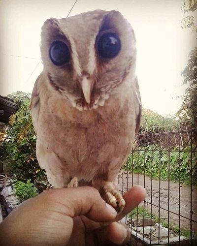 Walaupun tubuhmu kecil tapi kau memang kecil Owl Birdofprey Birdsofprey Orientalbayowl Bayowl Phodilusbadius Photooftheday Owlsofinstagram