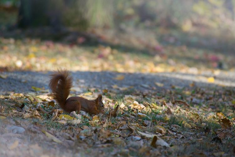 Eichkätzchen Parking Nature Animal Themes Animal Selective Focus One Animal No People Land Day Leaf Mammal Field Animal Wildlife Autumn Plant Part Animals In The Wild Outdoors Falling Vertebrate Squirrel Plant