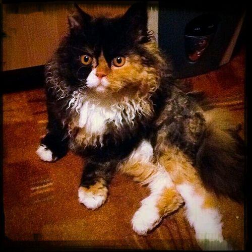 Luna Cat Kitten Pet Selkirk