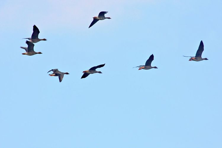 Bird Animal Wildlife Animals In The Wild Animal Themes Spread Wings Low Angle View Clear Sky Flying Animal No People Large Group Of Animals Flock Of Birds Blue Group Of Animals Mid-air Wild Ducks