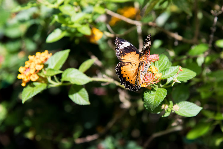 Close-up of butterfly pollinating on lantana camaras
