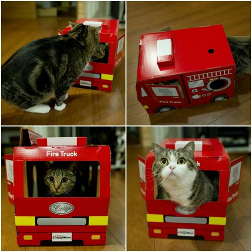 Cat Scottish Fold Kitten Maru And Hana Maru (Cat In The Box)