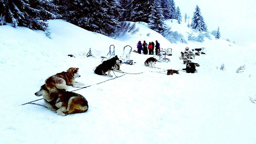 Snow Animal Themes Ski Winter Dog EyeEm Nature Lover Eye4photography  EyeEm Gallery Sleddogs Avoriaz