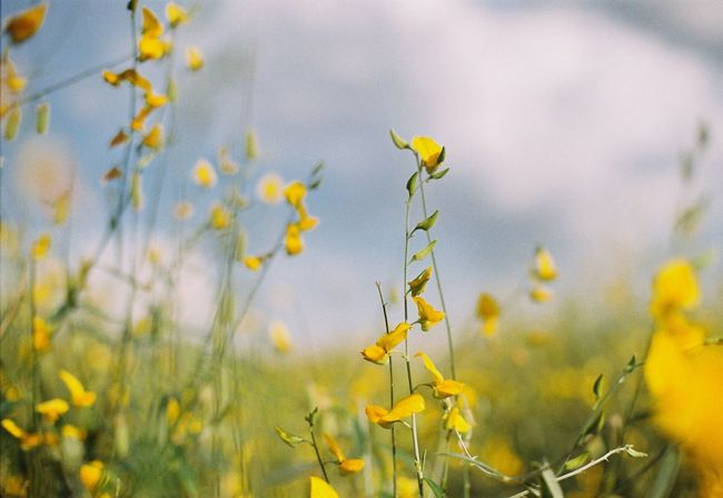 sunn hemp Flower Collection Flowers Flower Head Flower Sunn Hemp Yellow Plant Flower Flowering Plant Growth Close-up Nature Beauty In Nature Freshness Outdoors Focus On Foreground Day No People Fragility Vulnerability  Plant Part Invertebrate Leaf Tranquility Flower Collection Flowers Flower Head Flower Sunn Hemp Yellow Plant Flower Flowering Plant Growth Close-up Nature Beauty In Nature Freshness Outdoors Focus On Foreground Day No People Fragility Vulnerability  Plant Part Invertebrate Leaf Tranquility