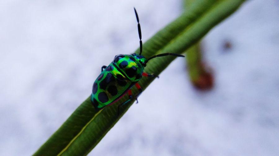 green black bug