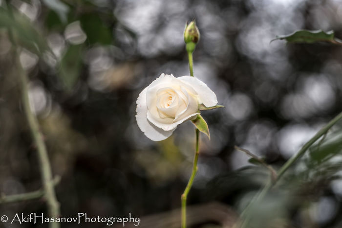 Beauty In Nature Blooming Close-up Flower Flower Head Focus On Foreground Fragility Freshness Growth Nature Petal Plant Rose - Flower White Color