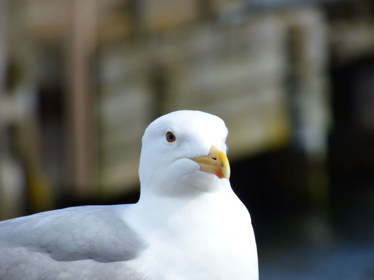 Animal Body Part Animal Head  Bird Birds Close-up Day Ente Eyes Eys Focus On Foreground Look Nature No People Outdoors Seagull