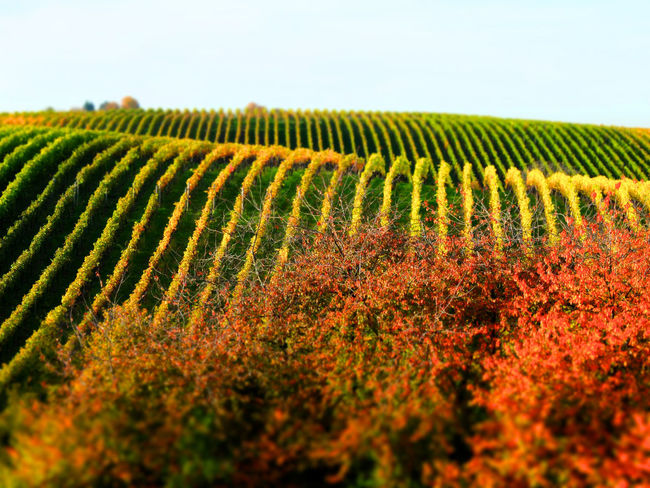 Vinyards in autumn Vineyard Cultivation Vineyards In Autumn Winemaking Vine - Plant Vineleaf Nature Agricultural Land South Face Slope Stromberg Kraichgau Growth Landscape Rural Scene Agriculture Plant Sky Beauty In Nature Field No People Land Environment Crop  Farm Scenics - Nature Green Color Tranquility In A Row Vineyard Day Outdoors Plantation