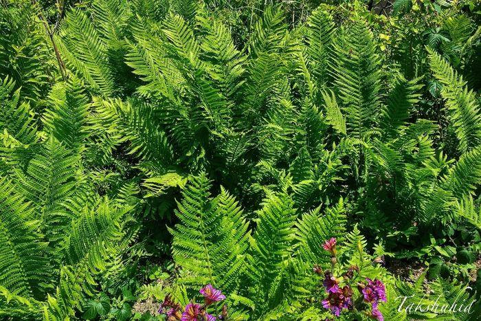 ferns at Mt.Hiei garden museum EyeEm Nature Lover Nature_collection Ferns Fern