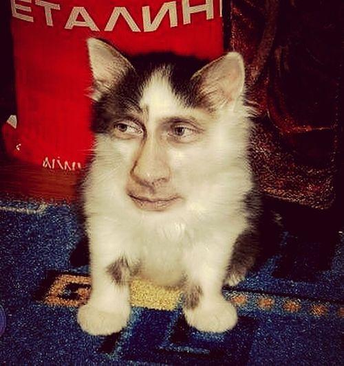 Putin Russia Cat