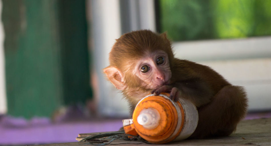 Close-Up Of Young Monkey Holding Milk Bottle