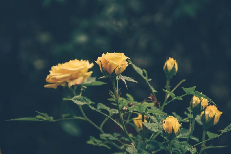 Close-Up Of Yellow Roses Growing On Flowering Plants