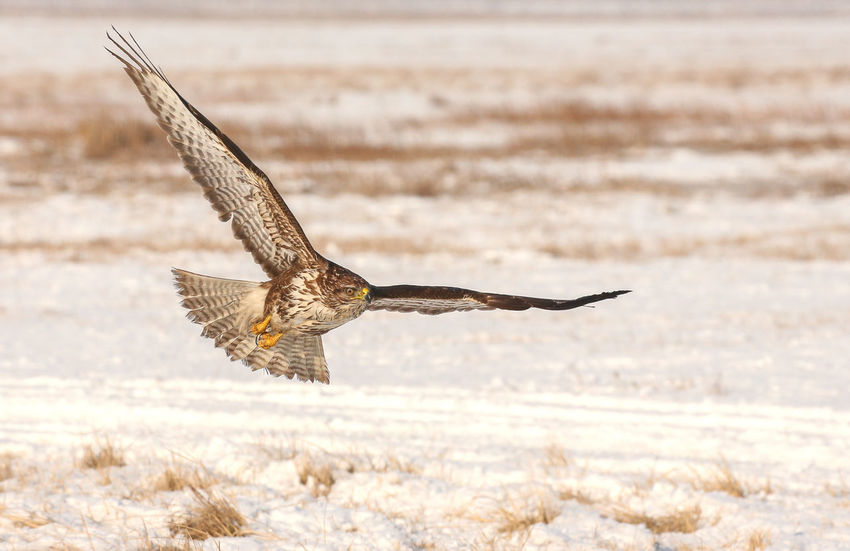 Buzzard snow winter wild nature flying bird Flying Bird One Animal Spread Wings Outdoors Nature Animal Wildlife Animals In The Wild Bird Of Prey No People Animals In The Wild Beauty In Nature Animal Themes White Background Winter On The Move