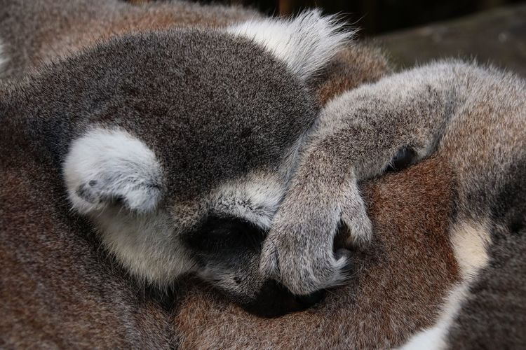 Scratch my nose to start out with mate Lemurs Lemur Nature Photography Nature_collection Nature Mammal Animal Themes Animal Relaxation No People One Animal Close-up Animal Wildlife Resting Vertebrate Animals In The Wild Sleeping Animal Body Part Nature