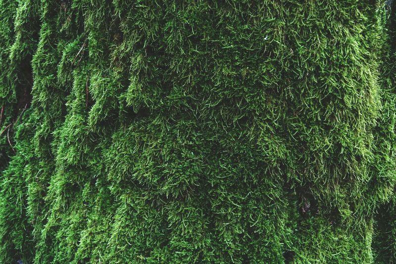 moss overgrown oak bark. Bark Textures In Nature Moss & Lichen Mossy Moss Mossy Oaks Texture Textured  Background Photography Natural Backgroud Oaktree Oak Bark Bark Texture