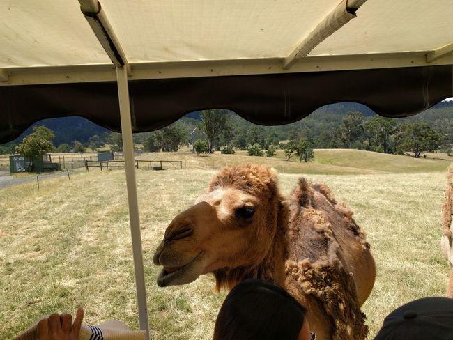 Mobilephotography Travel Destinations NoEditNoFilter Tasmania Hobart Animal Animal Themes Sand Camel