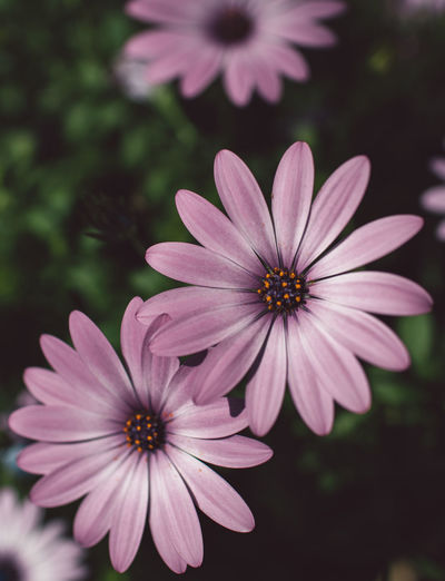 Flowering Plant Flower Plant Petal Fragility Vulnerability  Flower Head Inflorescence Freshness Growth Beauty In Nature Osteospermum Close-up Focus On Foreground Pollen Nature No People Day Outdoors Park Purple Springtime Decadence
