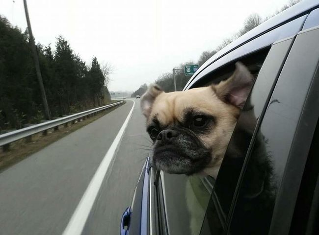 MeinAutomoment Pug Dog❤ Dog Dog Car Ride Pug Life  Pug Life ❤ Pug Love Pet Portraits Pets Of Eyeem Pet Photography  Pets Corner Animal Photography