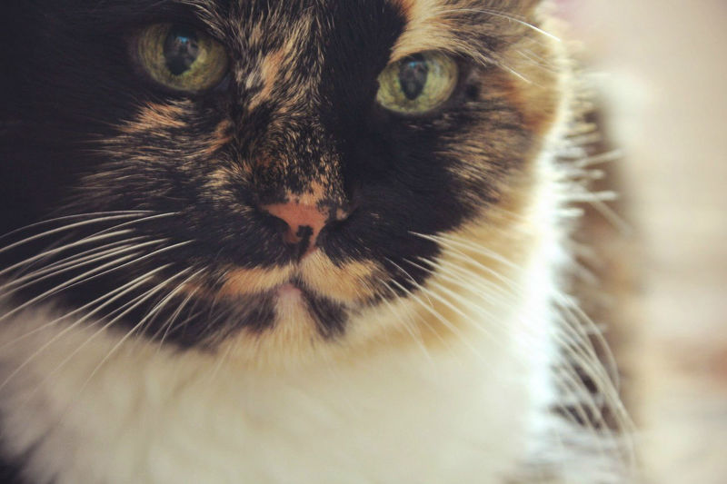 Three-color Cat Cat Lady-cat Muzzle Cat Pets Whiskered Cat кот кошка серьёзный кот