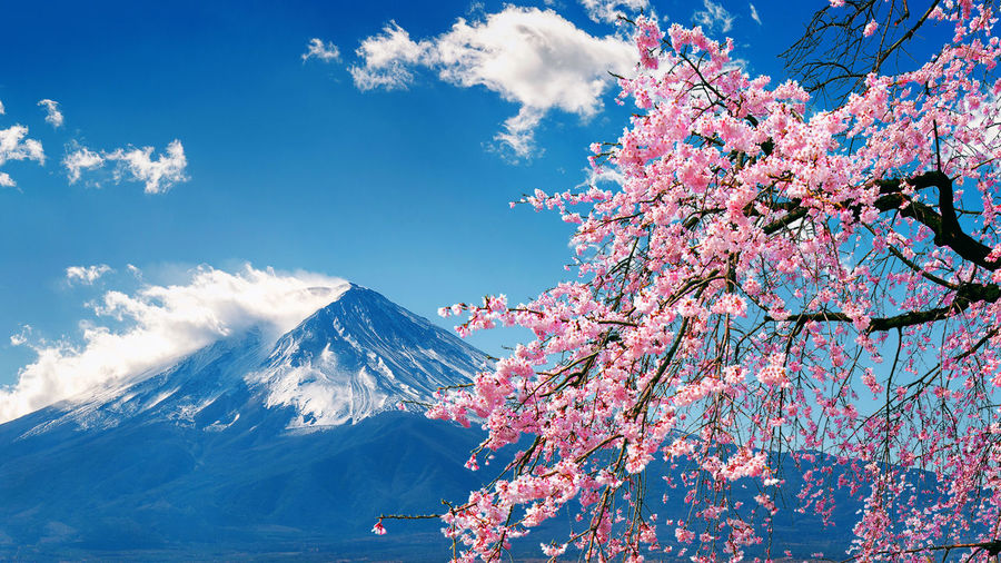 Fuji mountain and cherry blossoms in spring, Japan. Beauty In Nature Tree Mountain Sky Plant Flower Flowering Plant Cloud - Sky Scenics - Nature Nature Cherry Blossom Pink Color Blossom Springtime Growth Fragility Branch Freshness Day Snow No People Cherry Tree Outdoors Snowcapped Mountain