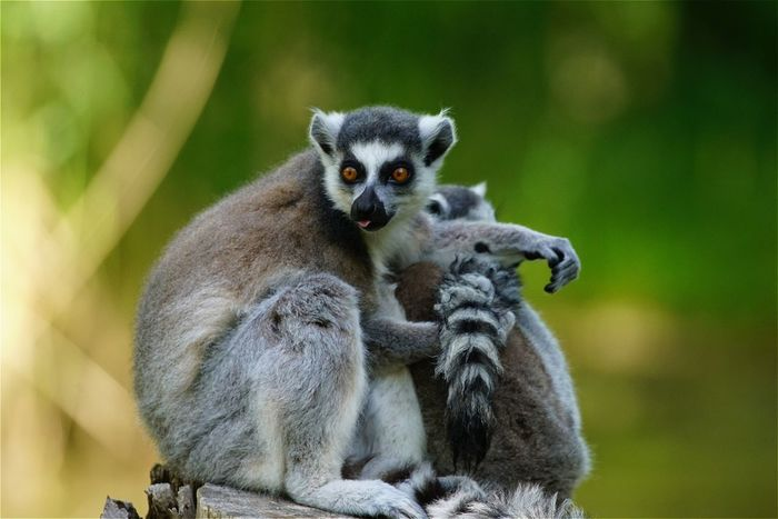 Katta Mammals Animals Lemur AMPt_community Tadaa Community EyeEm Best Shots Open Edit Eye4photography