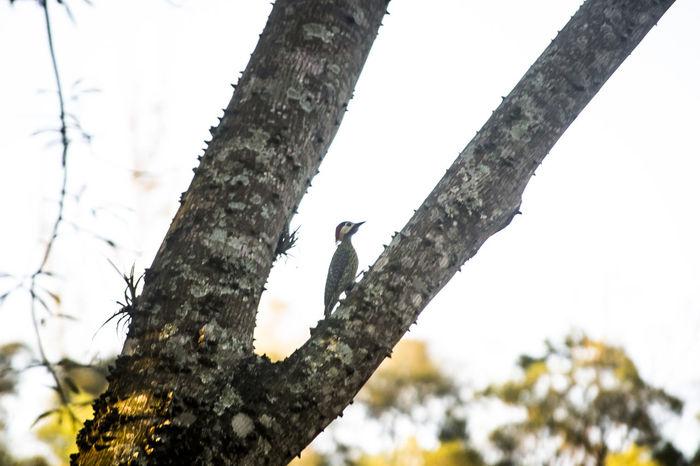 Woodpecker Bird Bird Photography Birds Of EyeEm  Branch Focus On Foreground Nature Pica Pau Pica-pau Woodpecker Woodpecker In Tree Woodpeckers