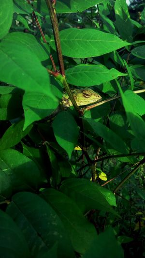 Shhhhhhh.....i'm...HiDinG....FroM....STuPiD............PeoPLe.... Nature's Diversities Natural Pattern Nature_collection Naturelover Naturephotography Lizard Love Chameleon_collection Chameleon Spirit Behind The Bushes Behind The Leaves Life's Simple Pleasures... My Collection... My World! My Time Photography Is My Escape From Reality!