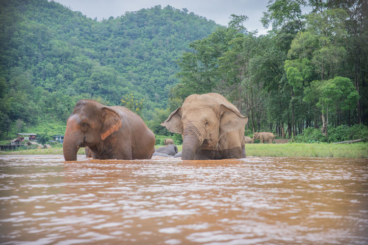 Elephants in river against trees