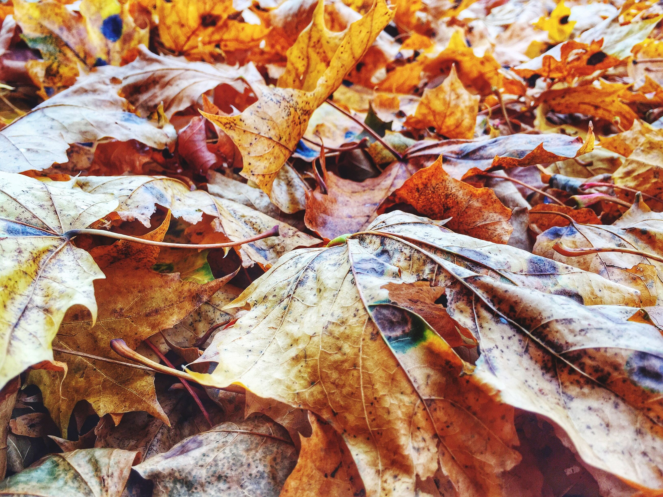 autumn, leaf, change, season, leaves, dry, nature, full frame, close-up, tranquility, natural pattern, backgrounds, fallen, day, maple leaf, tree, outdoors, beauty in nature, natural condition, no people
