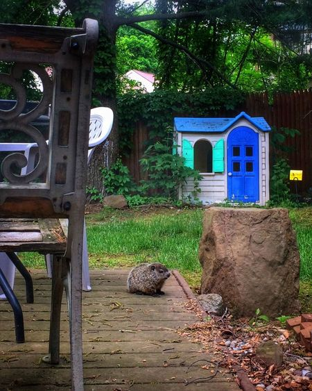 """✨1️⃣✨ ... One little """"whistle pig"""" sitting on my deck ... Tadaa Community Woodchuck Groundhog Nature Nature Photography Wood - Material Tree No People Animal Themes One Animal Built Structure Day Outdoors Architecture Mammal IPhoneography Animal Babies Backyardphotography"""