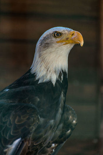 Close-up of bald eagle in zoo