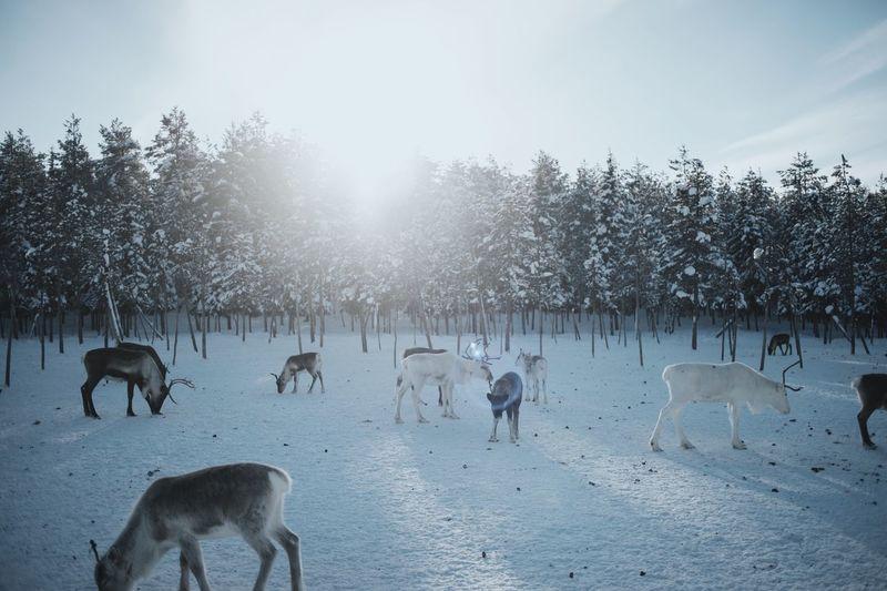 Reindeer in the wild
