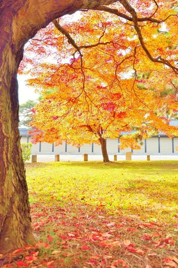 Autumn colors of Momiji trees in Kyoto, Japan Autumn Autumn Autumn Colors Autumn Leaves Beauty In Nature Change Day Grass Imperial Palace Garden Japan Japan Photography Japanese  Japanese Garden Japanese Nature Kyoto Kyoto, Japan Leaf Maple Tree Momiji Nature No People Scenics Tranquil Scene Tranquility Tree