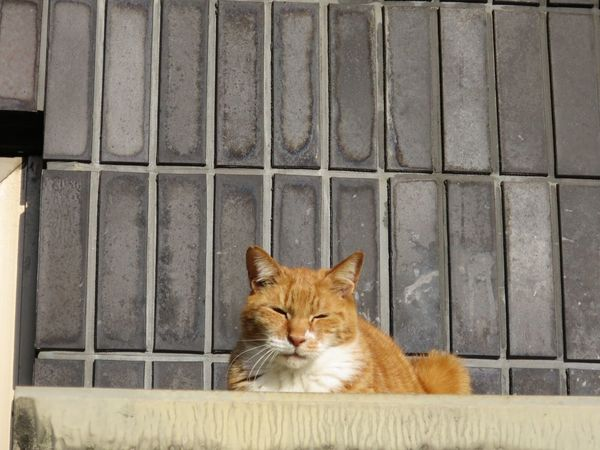 Stray Cat Cat One Animal Domestic Animals Cat Photography Domestic Cat No People Cat Lovers Sleepy Ginger Cat 野良猫